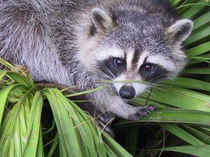 800px-Raccoon_procyon_lotor